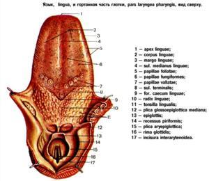 На какие заболевания указывает налет на языке