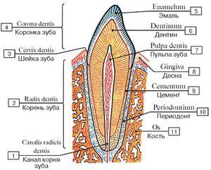 Из чего состоит зуб человека