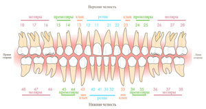 Описание зубов человека