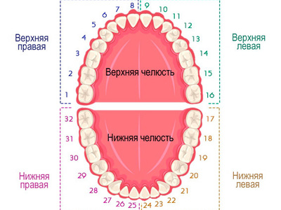Раскладка зубов по номерам