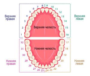 Схема полости рта